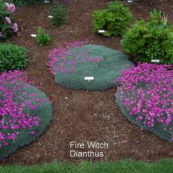 Viewing Images Posted By Coboro In The Genus Dianthus Garden Org