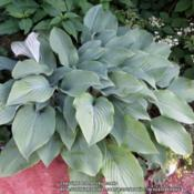 Location: Corner rock gardenDate: June 2015Sure wish I knew which hosta this is
