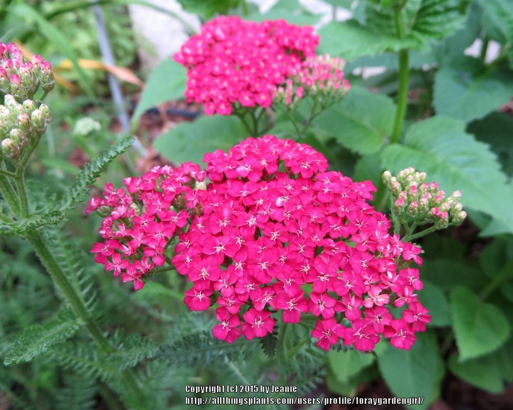 Photo of Yarrow (Achillea millefolium 'Saucy Seduction') uploaded by foraygardengirl