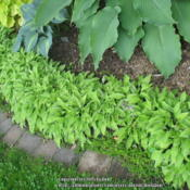 Location: Ottawa, ONDate: 2015-06-22An update on the border I have of this plant. It's just coming in