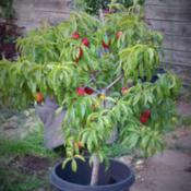 Date: 2015-06-25Potted Double Delight Nectarine at 3 years