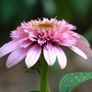Pink Double Delight..always a stunning bloom!