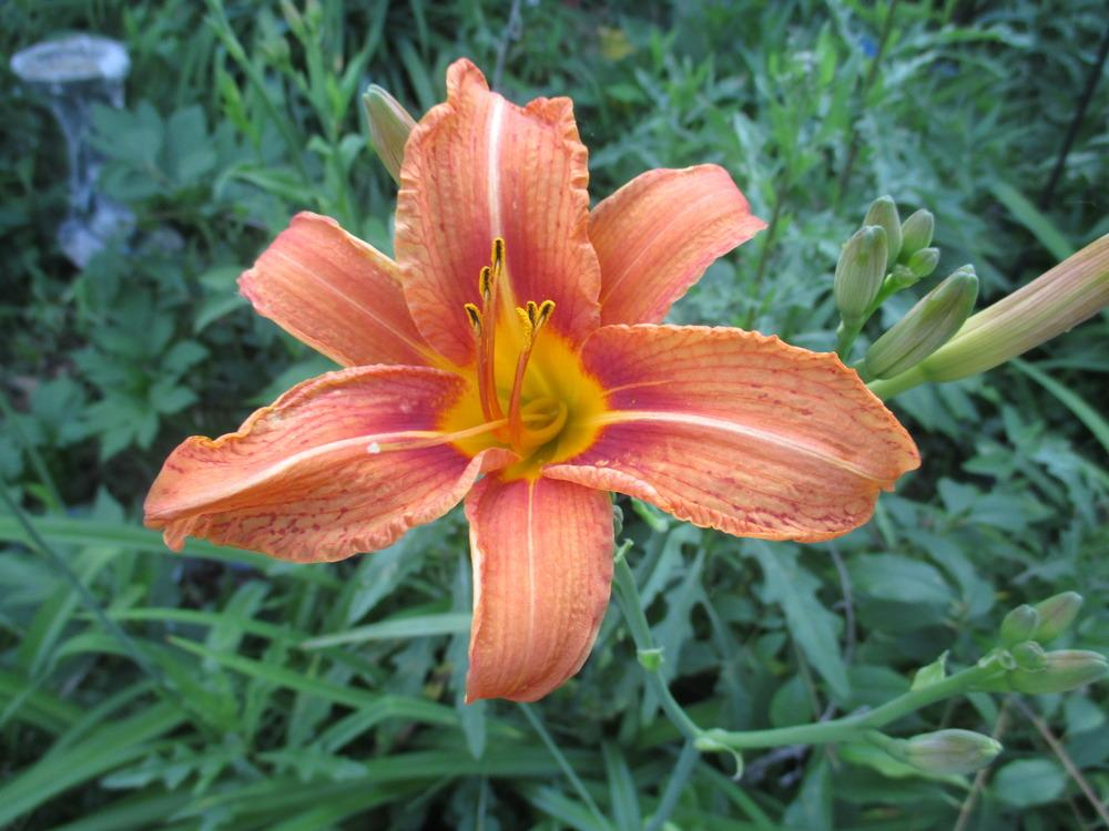 Photo of Ditch Lily (Hemerocallis fulva) uploaded by jimard8