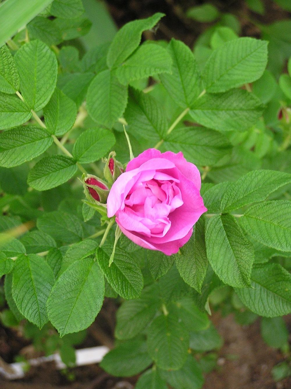 Photo of Roses (Rosa) uploaded by mandolls
