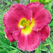 Location: My GardensDate: June 26, 2015Brookwood Seedling Purchased 1996