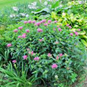 Location: My GardensDate: June 25, 2015With Other Perennials In Landscape