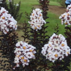 ATP Podcast #91: Crepe Myrtles