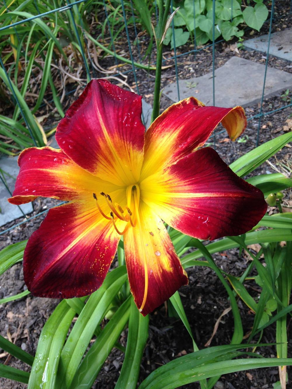 Photo of Daylily (Hemerocallis 'Ruby Spider') uploaded by capenancy