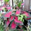 Growing in a container with Syngonium podophyllum and  a half dea