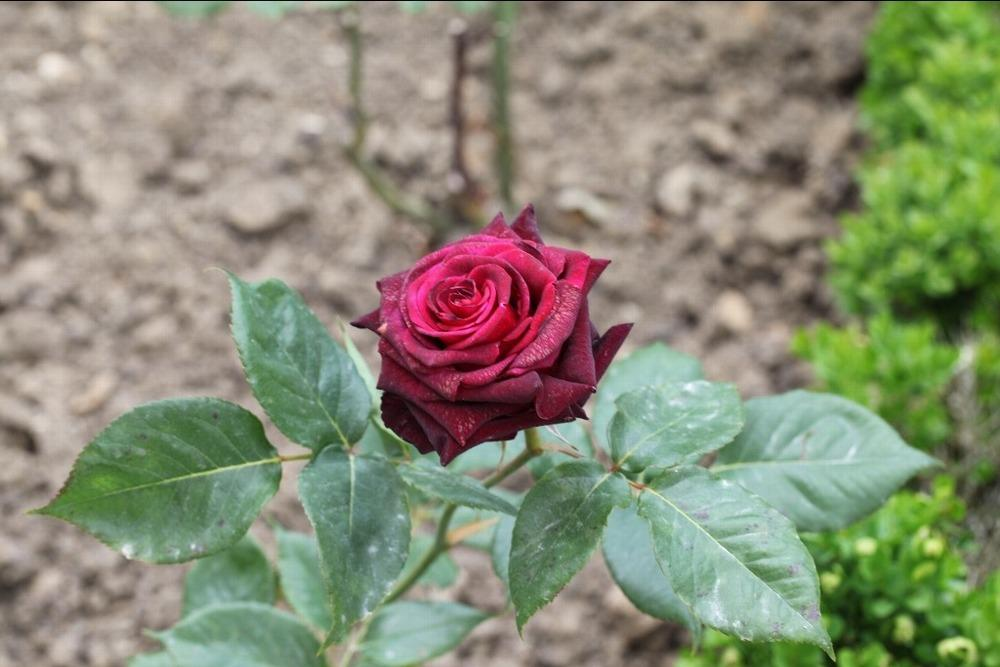 Photo of Rose (Rosa 'Black Baccara') uploaded by admin