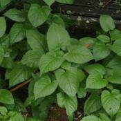 Location: Allentown, PennsylvaniaDate: 2015-06-28self-seeds abundantly in our garden, even in shade