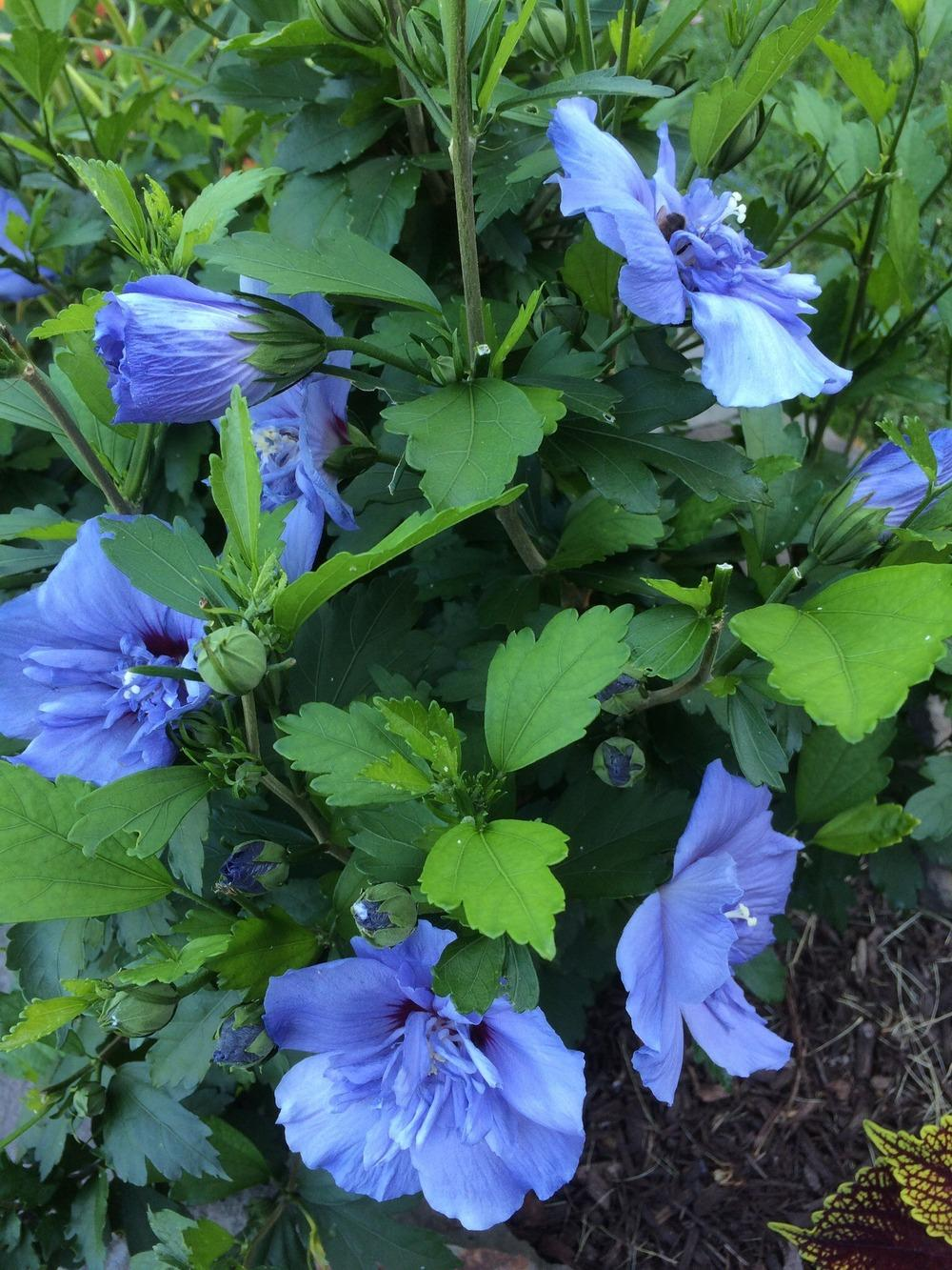 Photo of the entire plant of Rose Of Sharon (Hibiscus syriacus Blue ...
