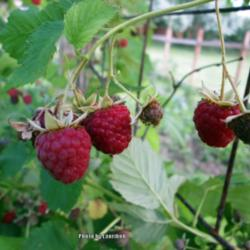 Plant a Home Raspberry Patch - Garden org