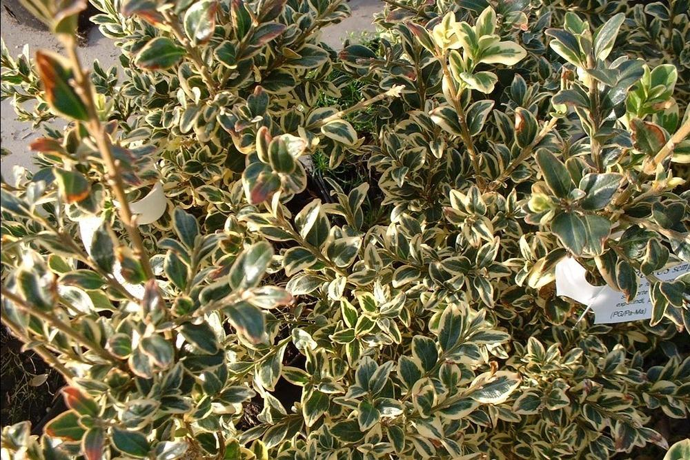 Photo of Common Boxwood (Buxus sempervirens) uploaded by admin