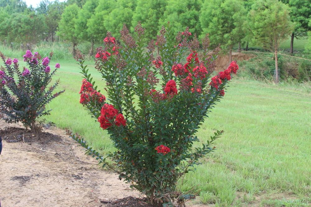 Photo Of The Entire Plant Of Crepe Myrtle Lagerstroemia