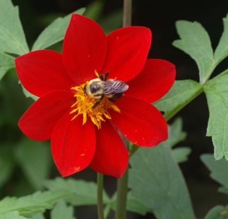 Photo of Dahlias (Dahlia) uploaded by plantrob