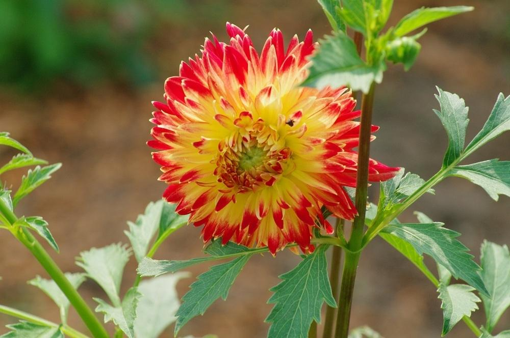 Photo of Dahlias (Dahlia) uploaded by Rose1656