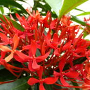 Location: Colima, Colima Mexico (Zone 11)Date: 2015-06-17Flame of the Woods (Ixora coccinea) bloom