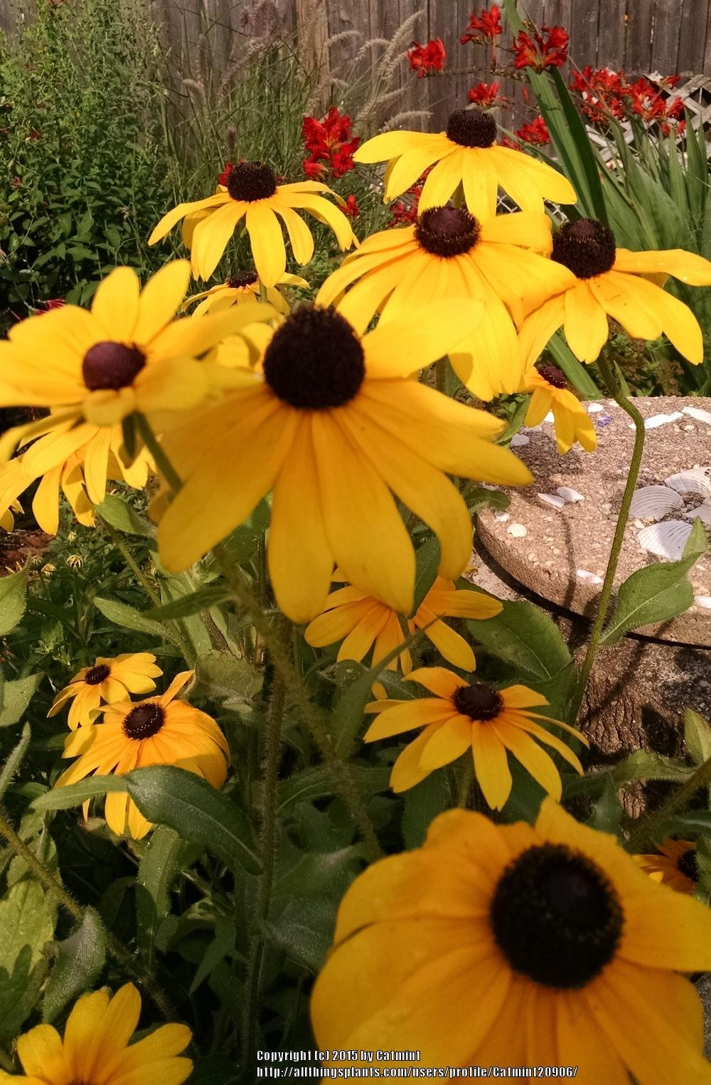 Photo of Black-Eyed Susan (Rudbeckia hirta 'Indian Summer') uploaded by Catmint20906