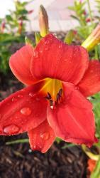 Thumb of 2015-07-04/DogsNDaylilies/2105a4