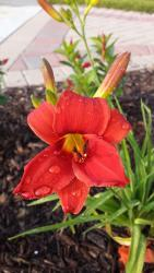 Thumb of 2015-07-04/DogsNDaylilies/dc3413