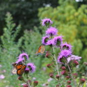 Location: Southeastern NHDate: 2014-09-20Draws fall migrating Monarchs every year.