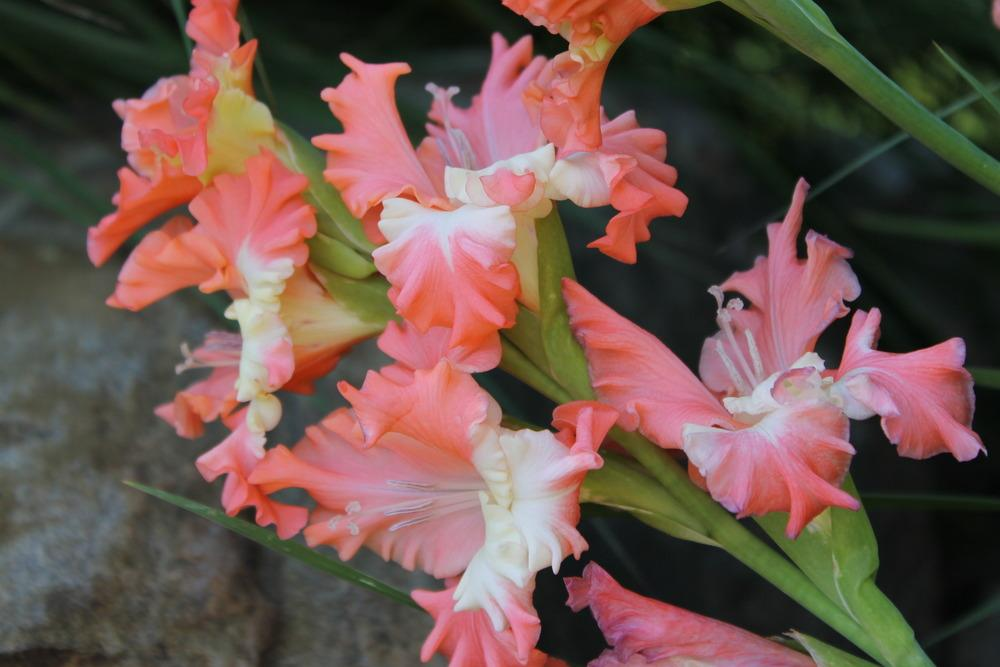 Photo of Gladiola (Gladiolus 'Frizzled Coral Lace') uploaded by Meredith79