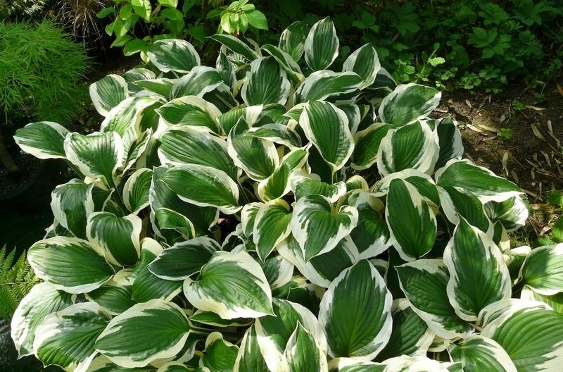 Photo of Hosta 'Patriot' uploaded by admin
