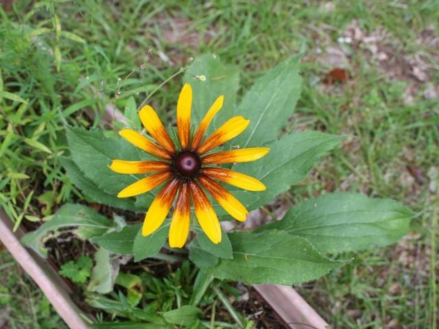 Photo of Black Eyed Susans (Rudbeckia) uploaded by gingin
