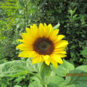 Location:  Back of My Garden , dry unplanted hill Date: 2015-07-02 A self sown Wild Sunflower , Goldfinch likely , garden