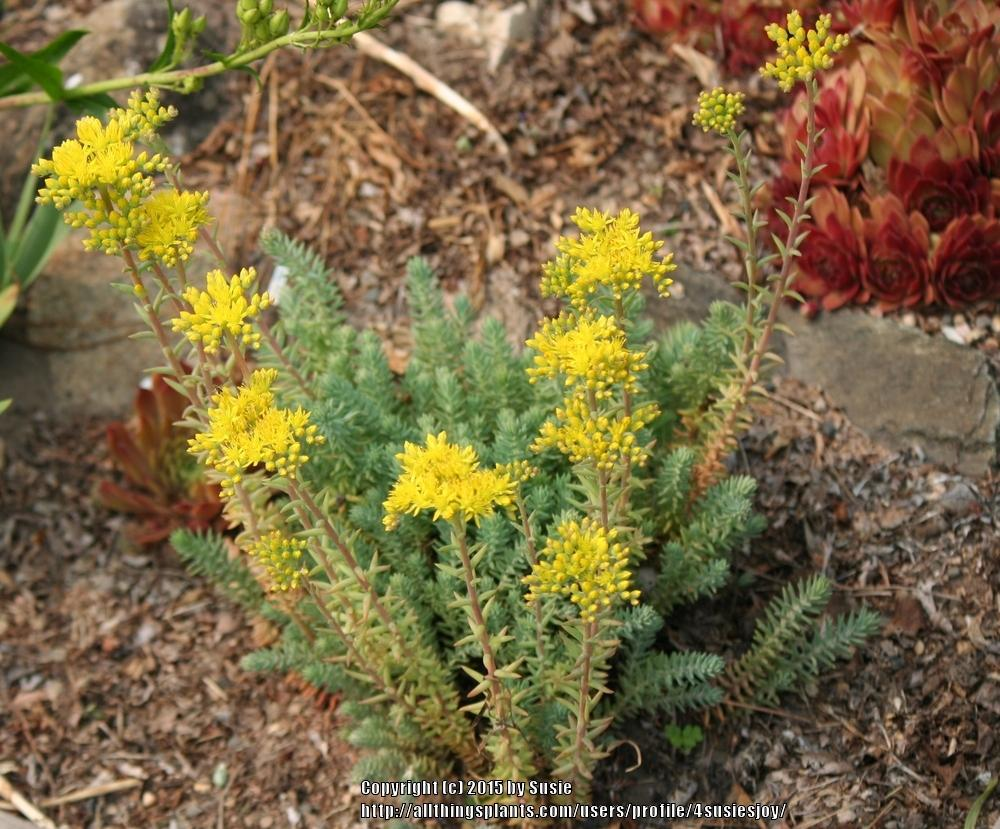 Photo of Jenny's Stonecrop (Petrosedum rupestre subsp. rupestre 'Blue Spruce') uploaded by 4susiesjoy