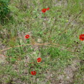 Location: zone 8 Lake City, Fl.Date: 2015-06-09Direct sown to naturalize