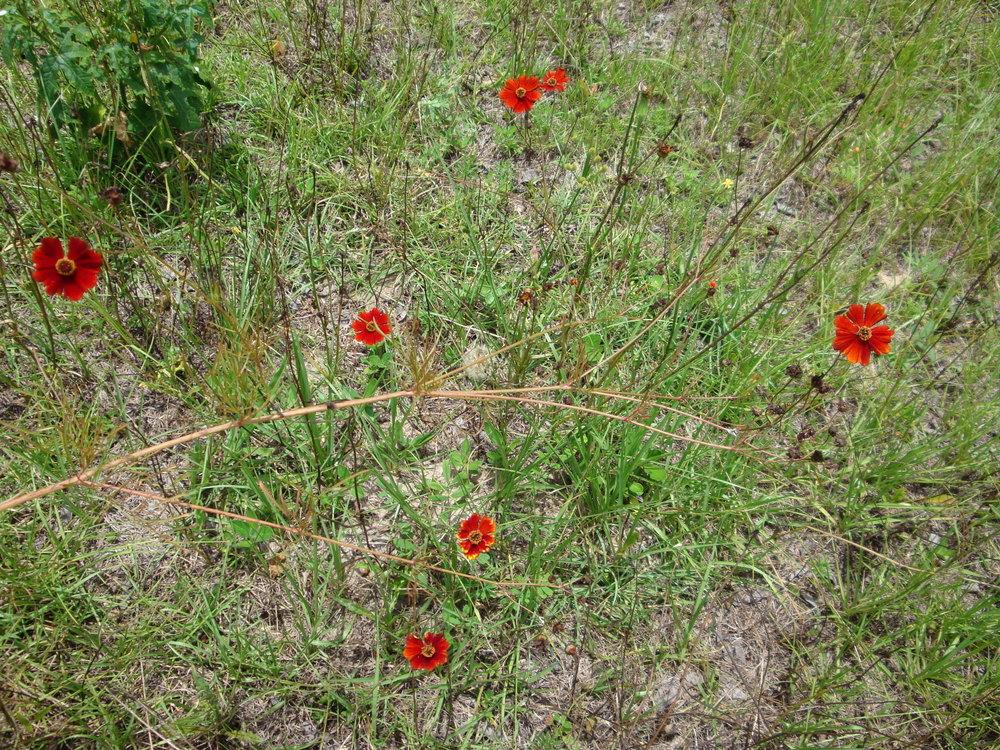 Photo of Plains Coreopsis (Coreopsis tinctoria 'Dwarf Red') uploaded by flaflwrgrl