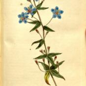 Anagallis monelli Curtis The Botanical Magazine, Volume 9. 1795
