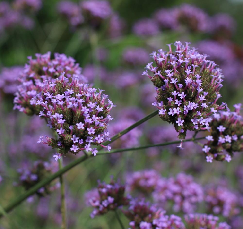 Photo of Tall Verbena (Verbena bonariensis) uploaded by dave