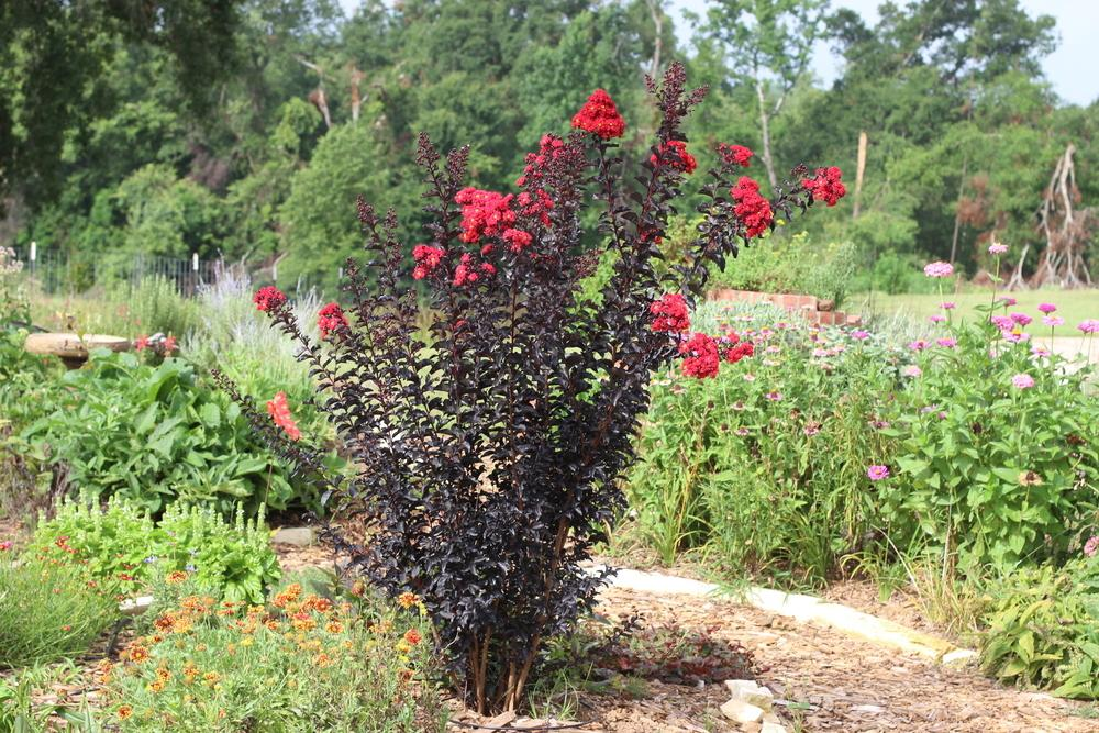 Photo of Crepe Myrtle (Lagerstroemia 'Ebony Flame') uploaded by dave