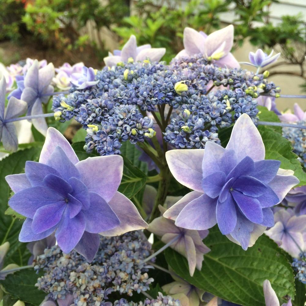 hydrangeas plant care and collection of varieties garden org