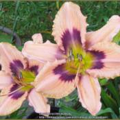 Location: Sebastian, FloridaDate: 2015-04-17Beautiful early bloomer with rebloom. Shows some rust r