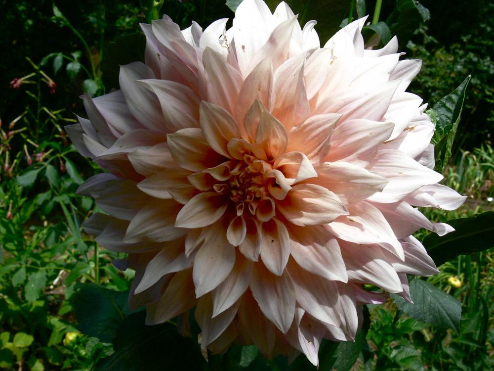 Photo of Dahlia 'Cafe au Lait' uploaded by janwax