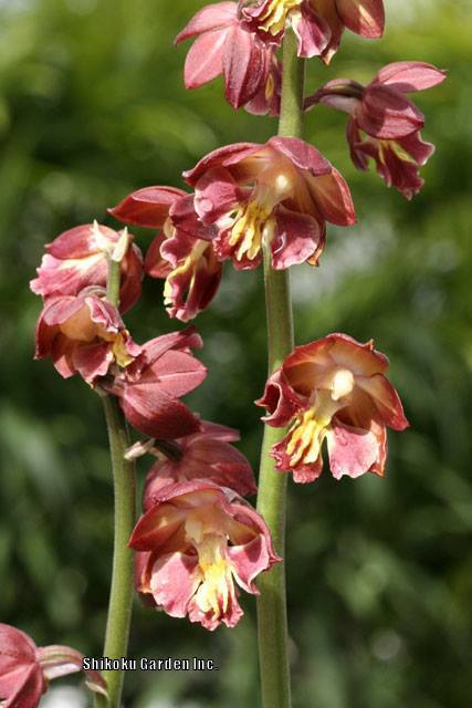 Photo of Orchid (Calanthe 'Kojima Red') uploaded by Joy