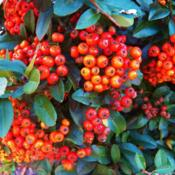 Location: Bristol, PennsylvaniaDate: 2013-09-30Showy Autumn true-orange berries