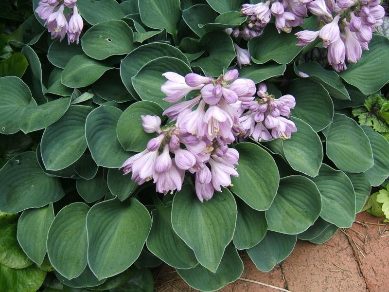 Photo of Hosta 'Blue Mouse Ears' uploaded by pirl