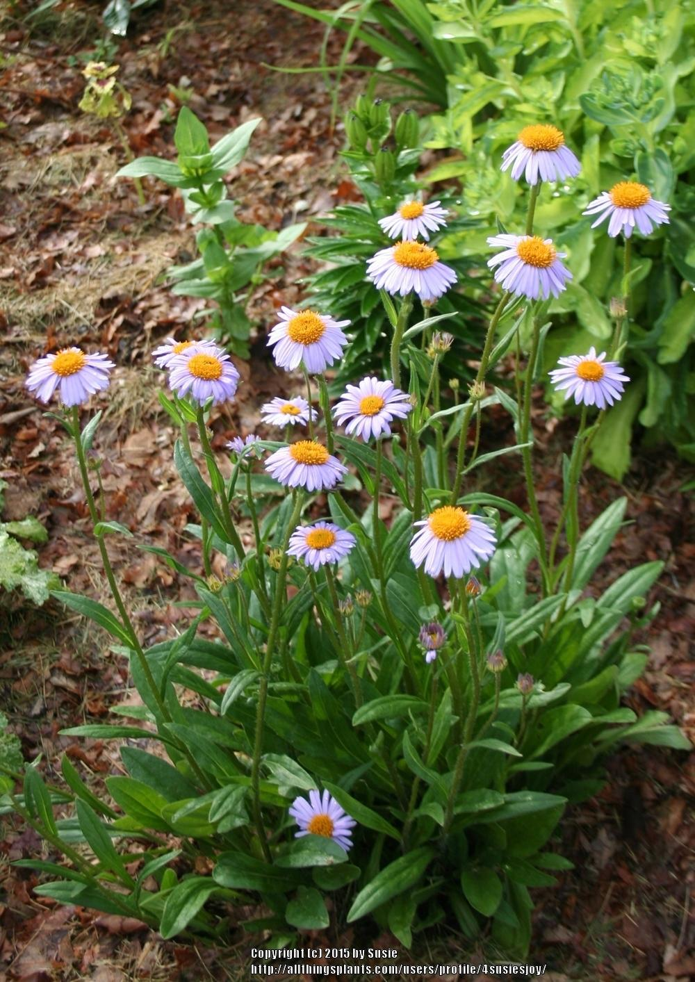 Photo of East Indies Aster (Aster tongolensis 'Wartburg Star') uploaded by 4susiesjoy