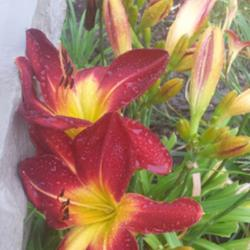 Thumb of 2015-07-09/DogsNDaylilies/0f8ca7