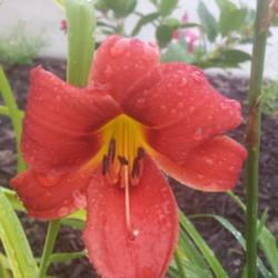 Thumb of 2015-07-09/DogsNDaylilies/ce9f30