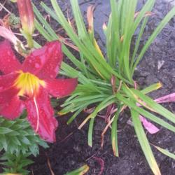 Thumb of 2015-07-09/DogsNDaylilies/f6ee85