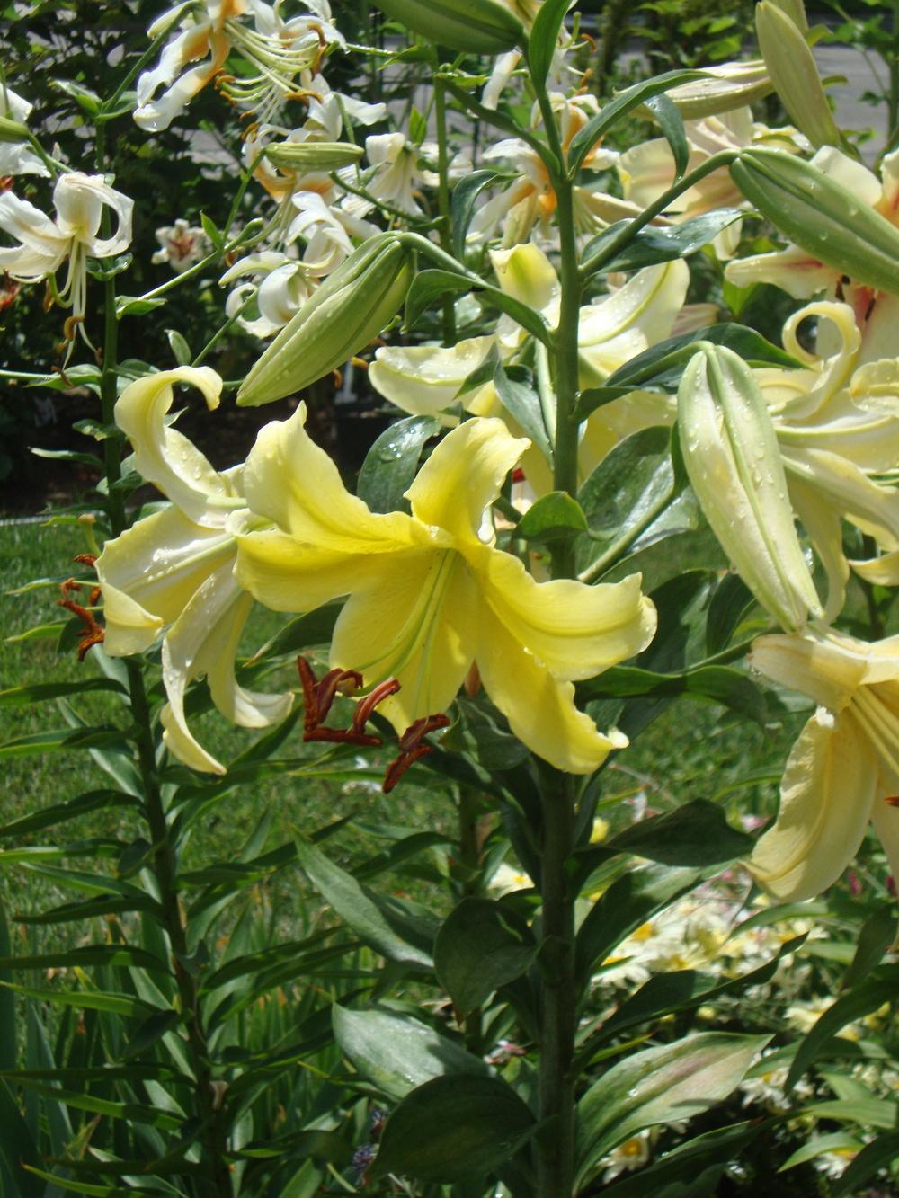 Photo of Lilies (Lilium) uploaded by Paul2032