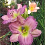 Location: Sebastian, FloridaDate: 2015-07-07These blooms on this daylily cultivar are beautiful. It