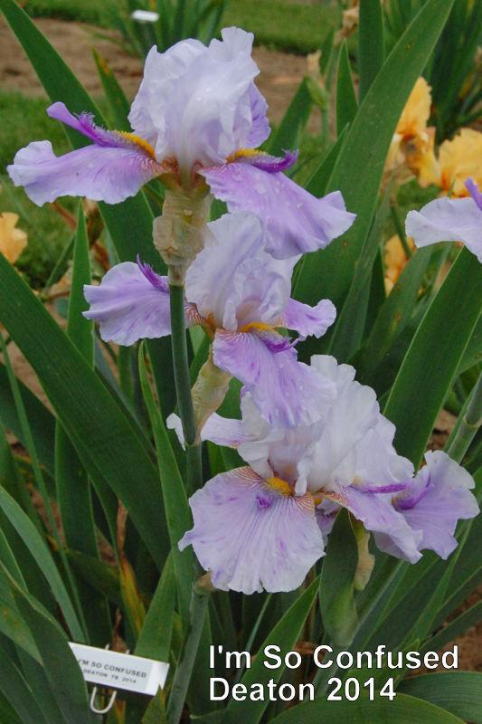 Photo of Tall Bearded Iris (Iris 'I'm So Confused') uploaded by coboro
