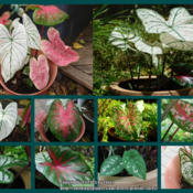 Location: At our garden - San Joaquin County, CADate: 09July2015 - summerPhoto update of the leaves in my first caladium containers